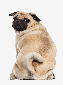 article chien obese
