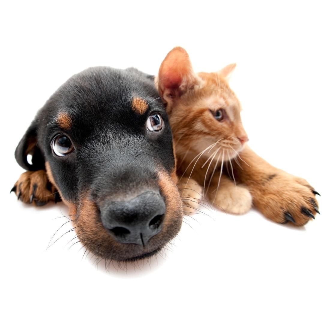 Chien et chat amis